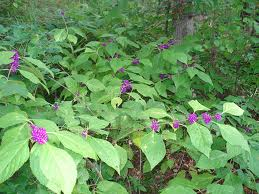 beautyberry1